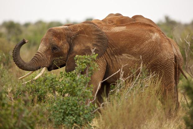 Slon v parku Tsavo