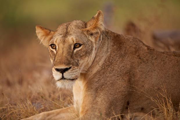 Lvice z parku Tsavo